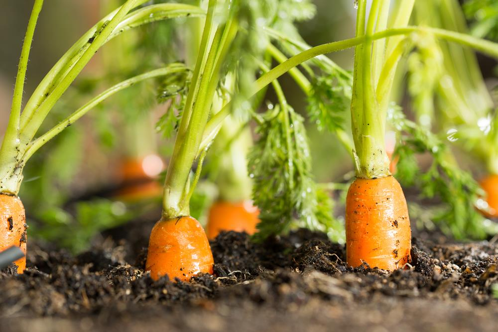 Awesome Puffy Carrot