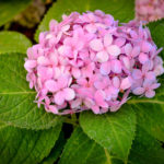 3 Reasons Why Your Hydrangea is Not Blooming and How to Solve Them