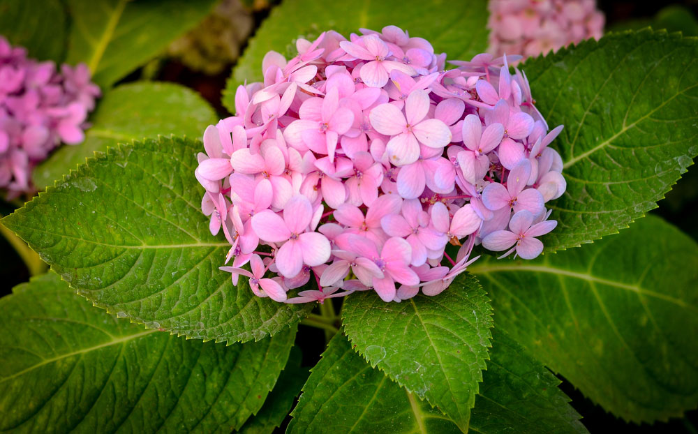 hydrangea not blooming