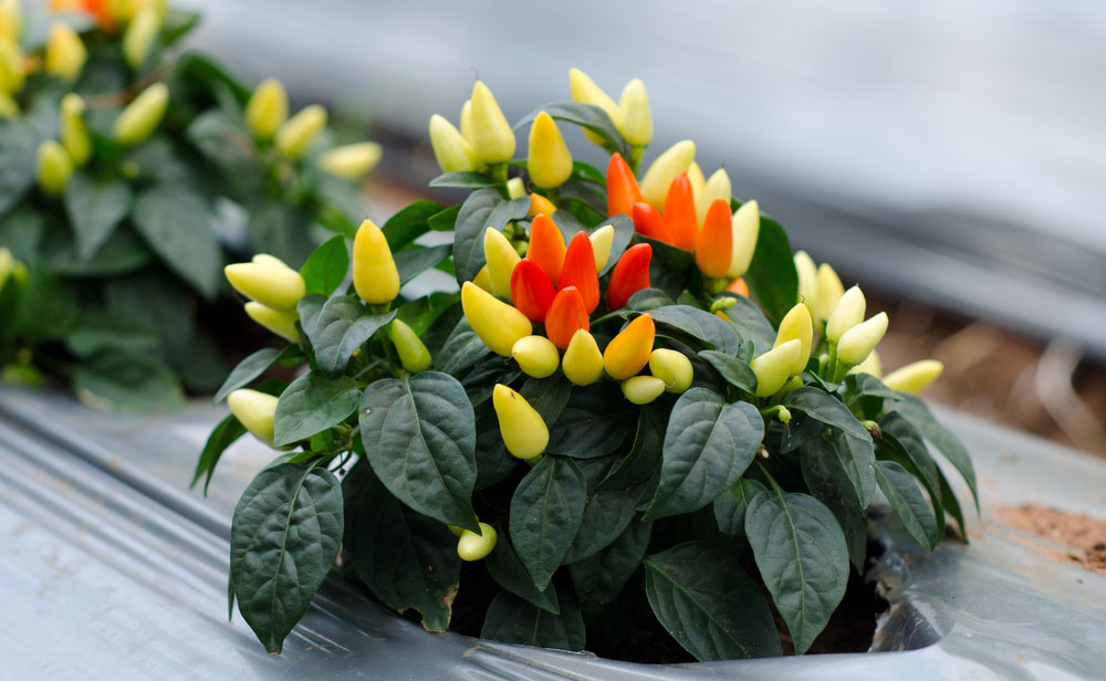 how to grow and care for an ornamental pepper plant
