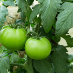 Are Green Tomatoes Poisonous: From Notorious To Nutritious