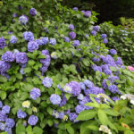 How To Change the Color of Hydrangeas: 5 Easy Steps to Follow