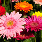 All You Need To Know About Growing Gerbera Daisies