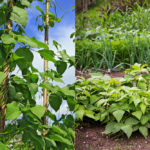 Bush Beans vs Pole Beans: Which Should You Be Growing?
