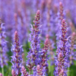 How to Grow and Care for Your Salvia Plant in Most Effective Ways