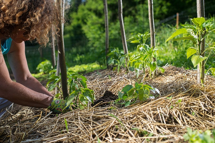 Covering plants with straw mulch