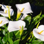 How to Grow Calla Lilies? – A Comprehensive Tutorial