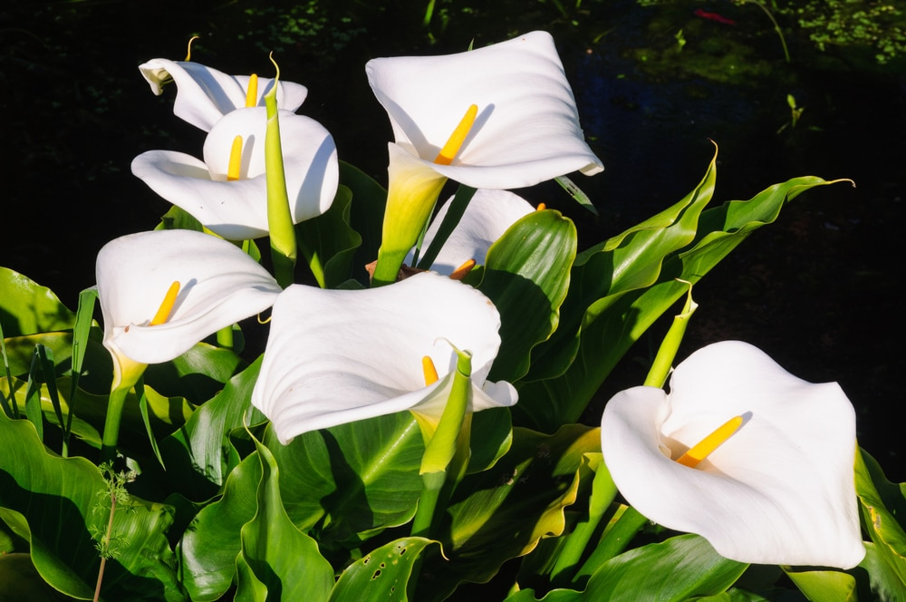 How To Grow Calla Lilies A Comprehensive Tutorial