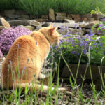 Catmint vs. Catnip, who will bell the cat?