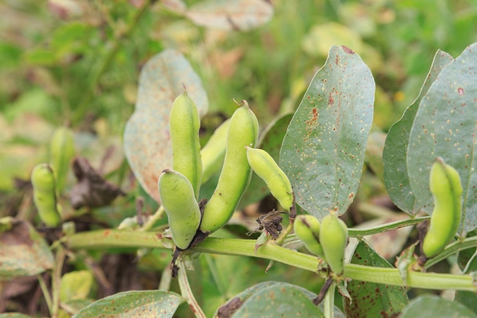 Growing lima beans from seed to healthy recipes for How to cook fresh lima beans from garden