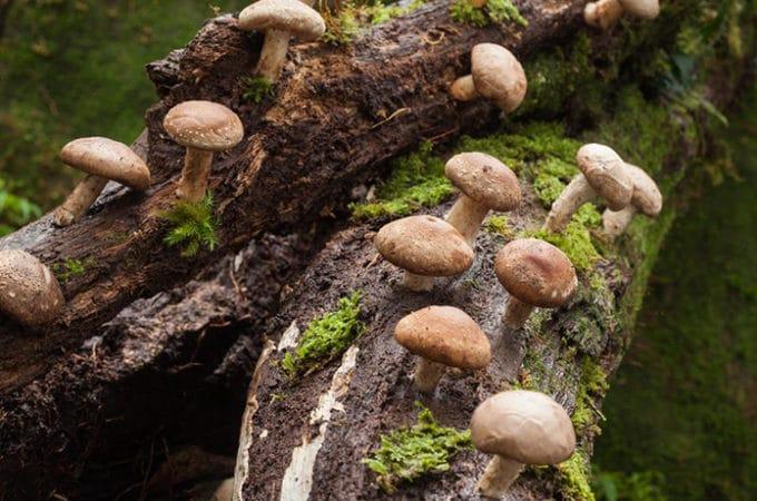 growing shiitake mushrooms