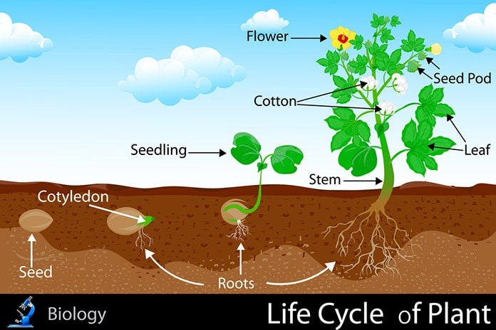 life cycle plant