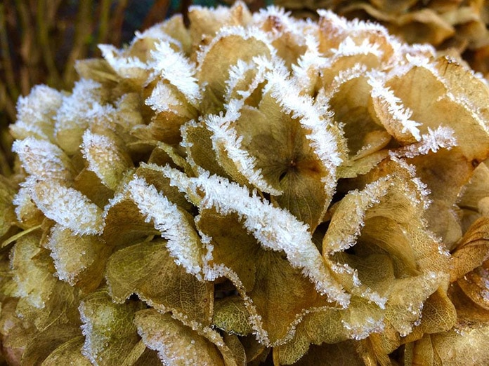 Hydrangeas in frost day of winter